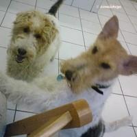Foxterriers.Benny a la natura+Nicki handgetrimmt