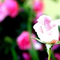 Nahaufnahme Rose2