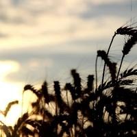 WeizenSonnenuntergang