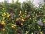 Oliven und Zitrusbäume!
