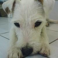 Parson Russel Terrier.Pepper.handgetrimmt..