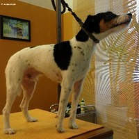 Parson Russel Terrier handgetrimmt