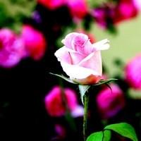Nahaufnahme Rose