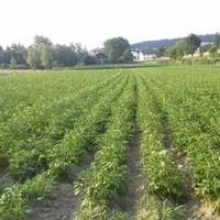 Bio-Kartoffel-3