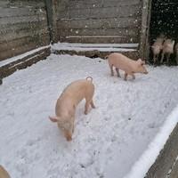 Schweine im ersten Schnee