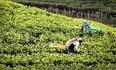 150 Jahre Teeanbau in Sri Lanka