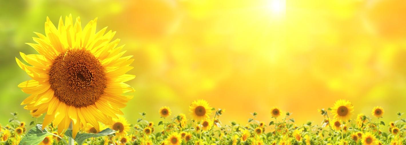 sonnenblume länger